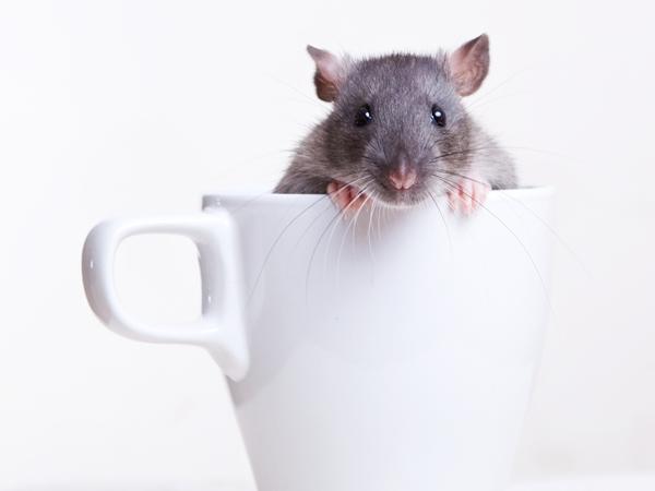 الفأر في المنام للعزباء نواعم