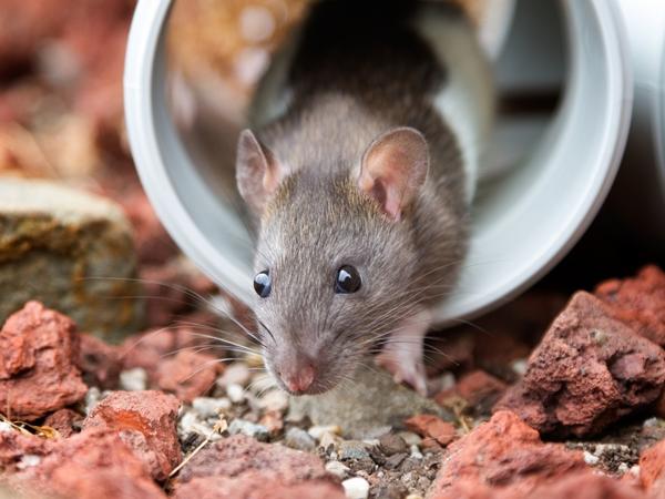 تفسير رؤية الفأر في المنام للعزباء نواعم