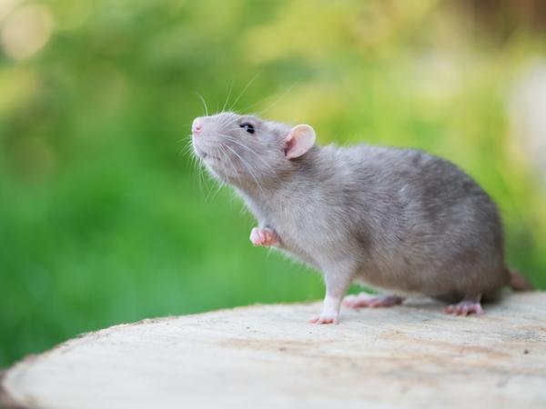 الفأر في المنام نواعم